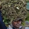 We're ready to lose Somalia market, miraa traders say