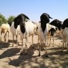 Somalia: Healthy herds help communities survive